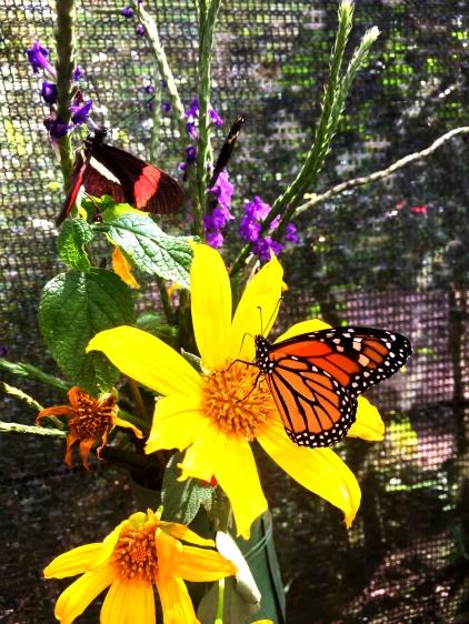monarque fleur jaune