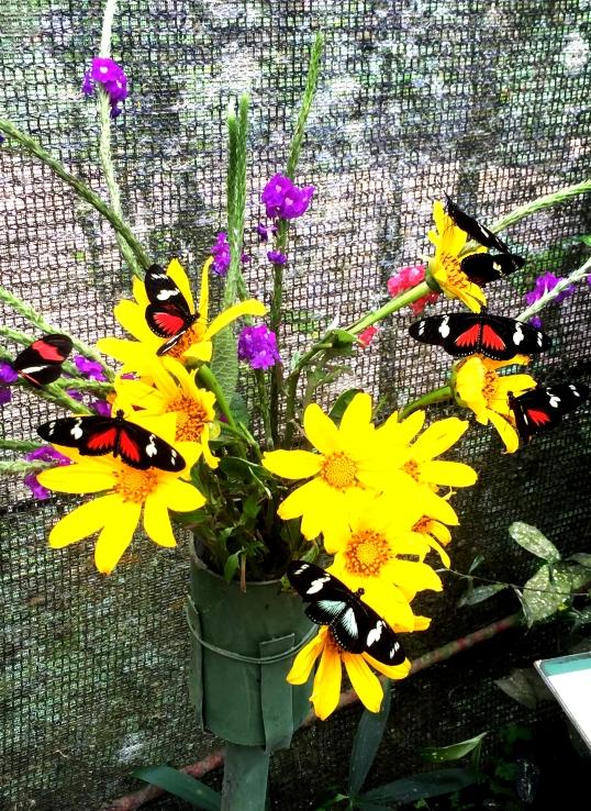 papillons butinant fleurs