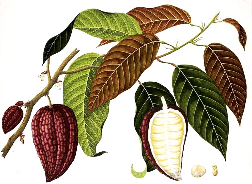 cacao_botanical-drawing.jpg