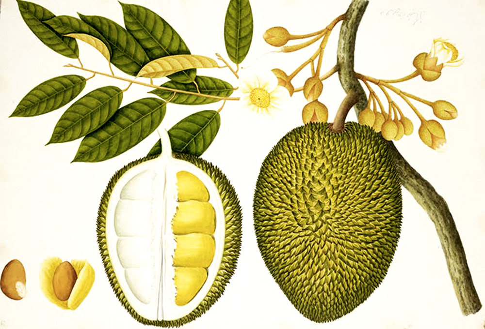 jackfruit_botanical-drawing_ok