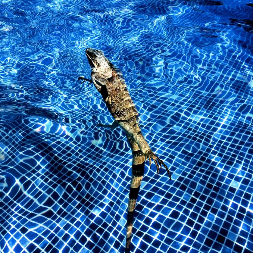 water-dancing-iguana.jpg