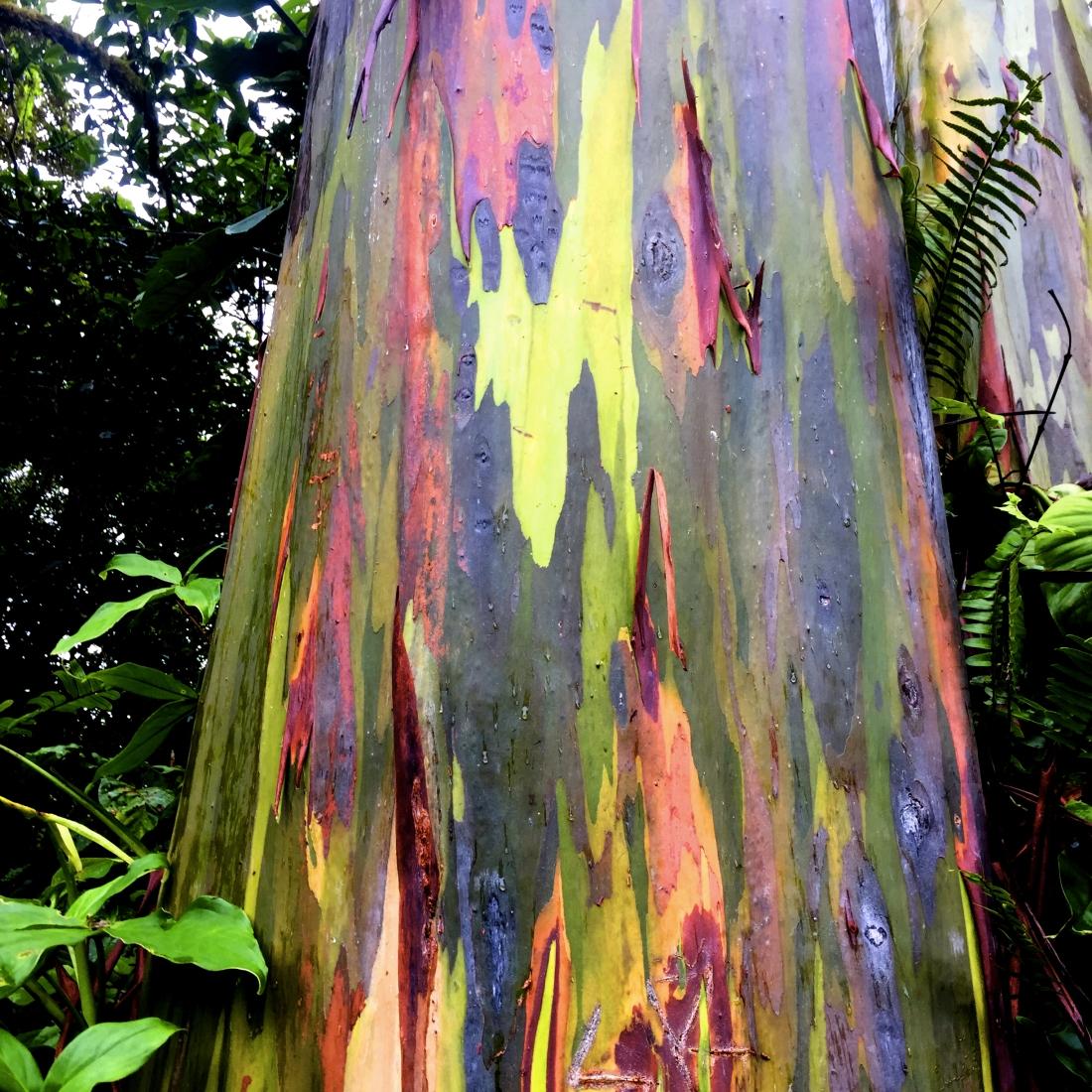rainbow-eucalyptus.jpg