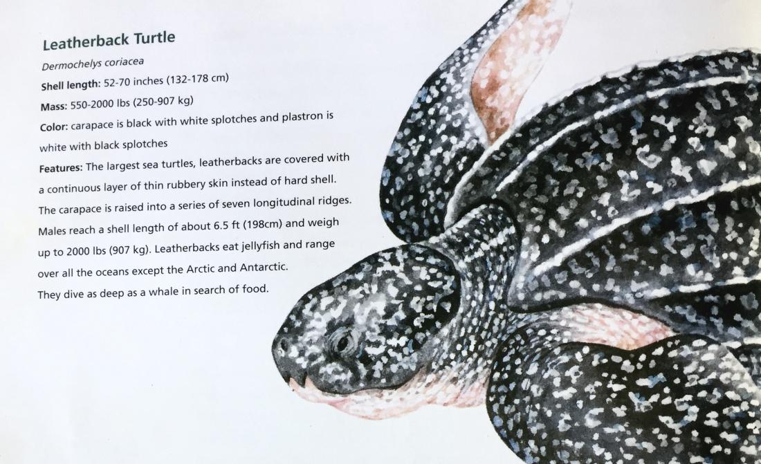 leatherback-infos.jpg