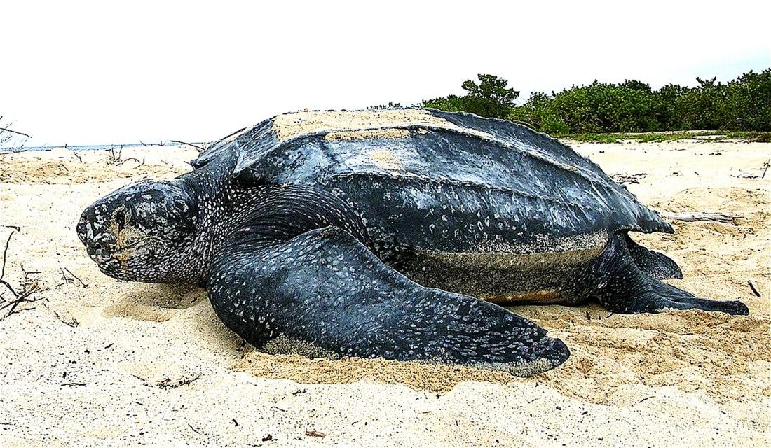 Leatherback_sea_turtle_web