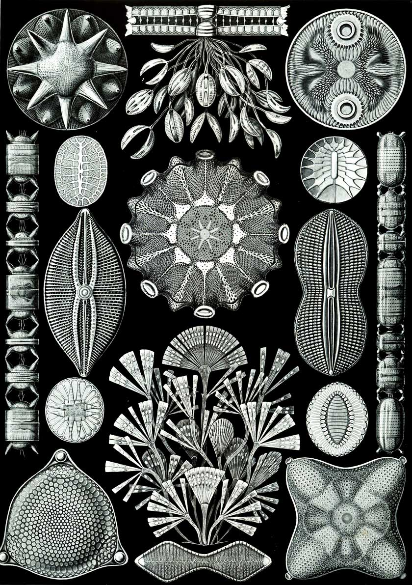 Illustration-of-diatoms-The-84th-plate-from-Ernst-Haeckels-Kunstformen-der-Natur_web.jpg