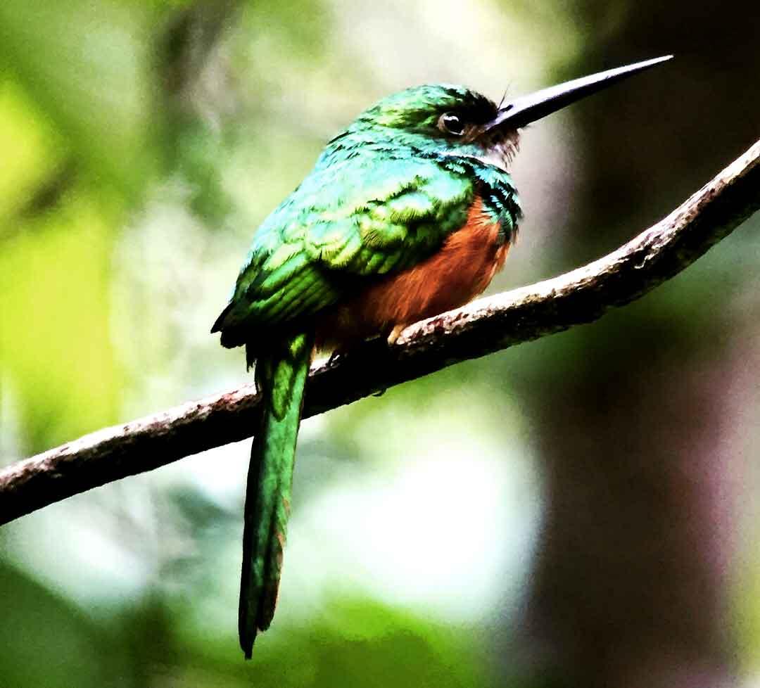 corcovado-bird_web