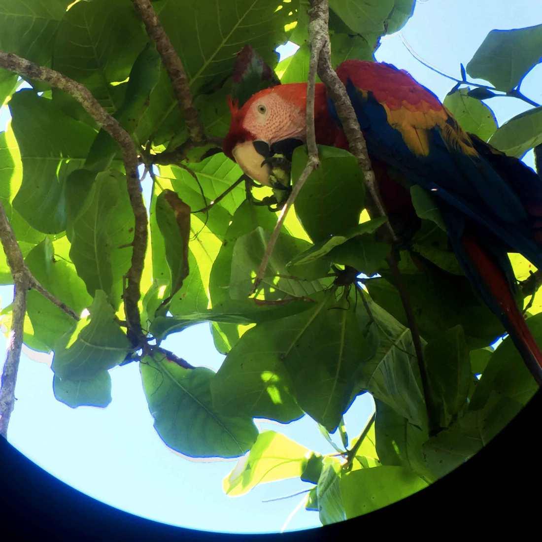 corcovado-scarlett-macaw_web.jpg