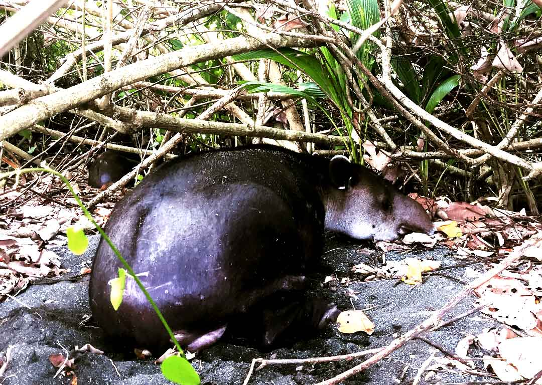 corcovado-tapir_web.jpg