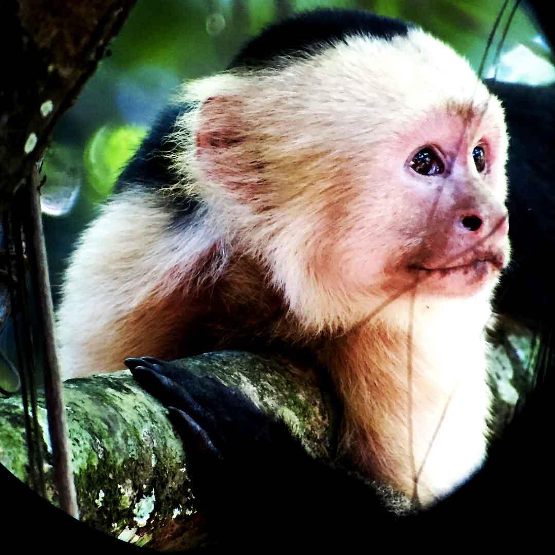 corcovado-white-capuchin_web.jpg