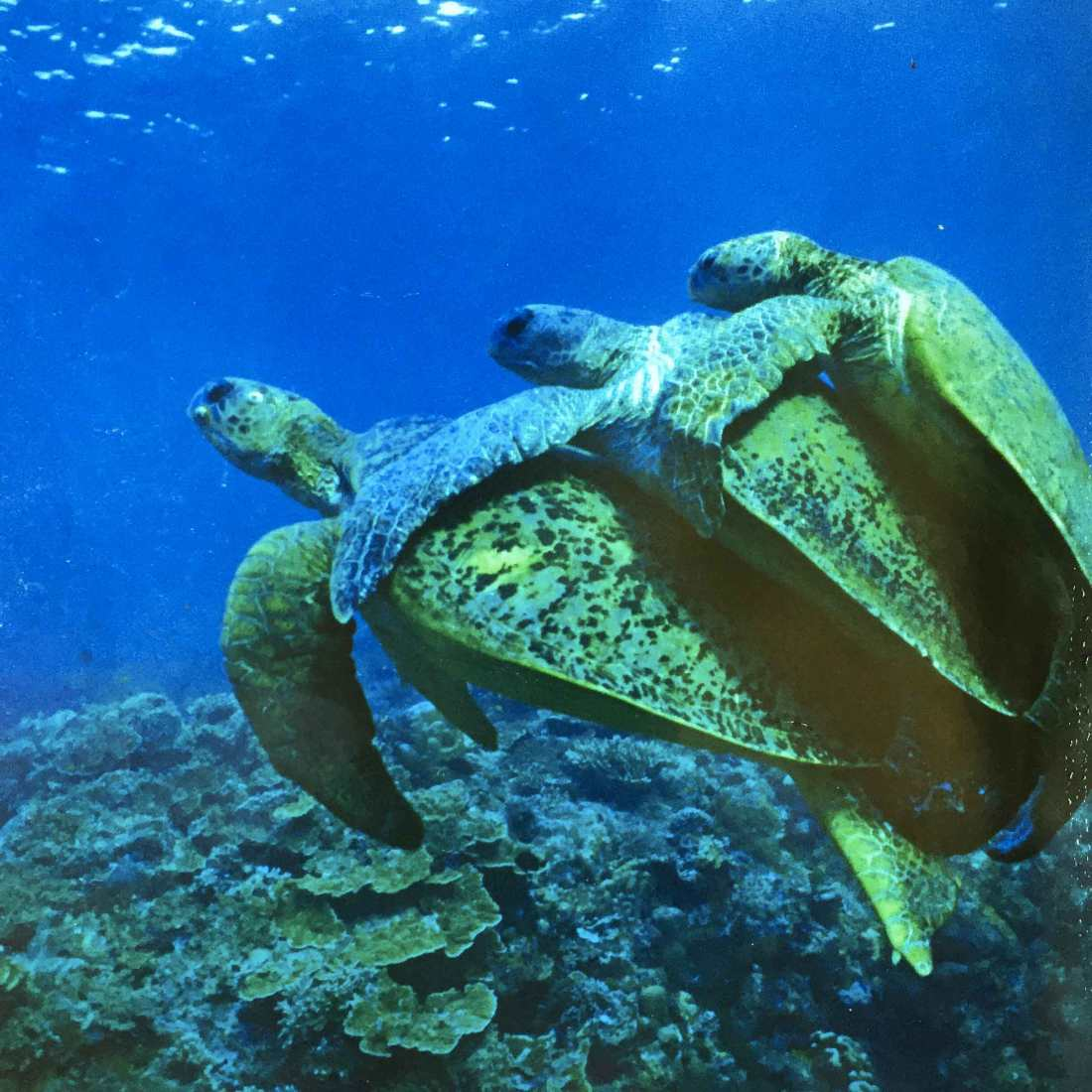 sea-turtle-threesome