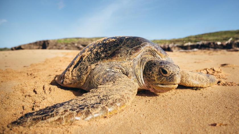 WWF-Green turtle_Kenya.jpg